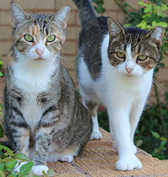 stray cats that have been spay or neutered