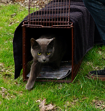 Trap Neuter Return - cat being released after neuter