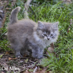 Kitten: A grey kitten outside
