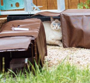 A community cat enters a humane box trap.