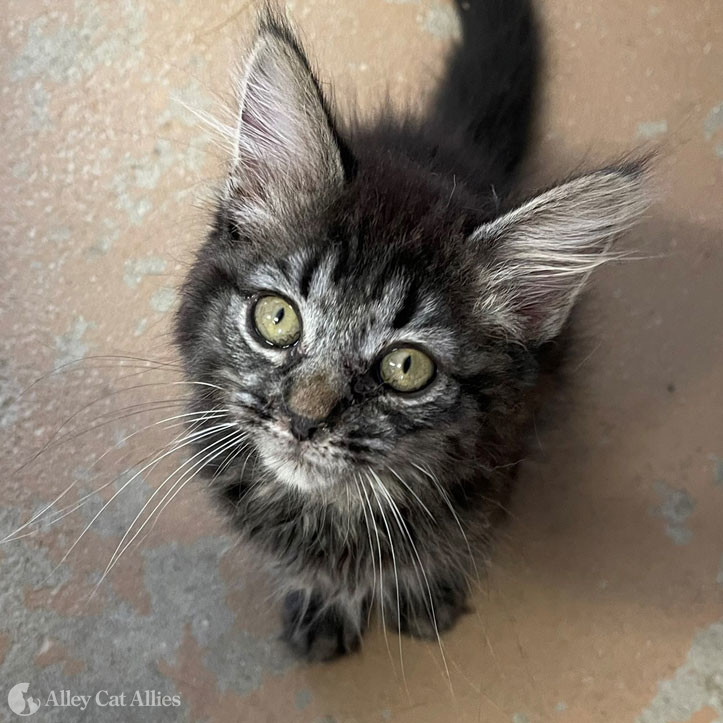 Adoptable Cat: Tilly
